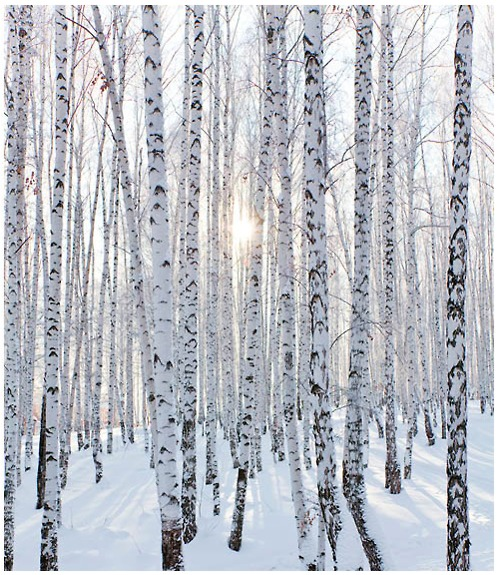 birch-trees-in-the-snow-wallpaper-wp424116