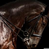 brown-horse-head-x-wallpaper-wp5204853