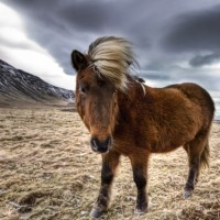 brown-horse-in-iceland-x-wallpaper-wp5204854