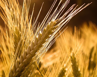 caacbfbfebbdf-barley-plant-hd-wallpaper-wp3403607
