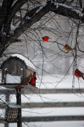 cardinals-wallpaper-wp540148