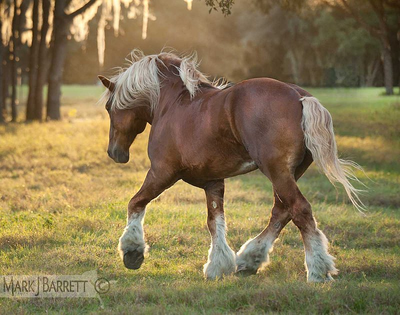 ccffdbcbeaaeffd-belgian-draft-horses-pretty-horses-wallpaper-wp5001746
