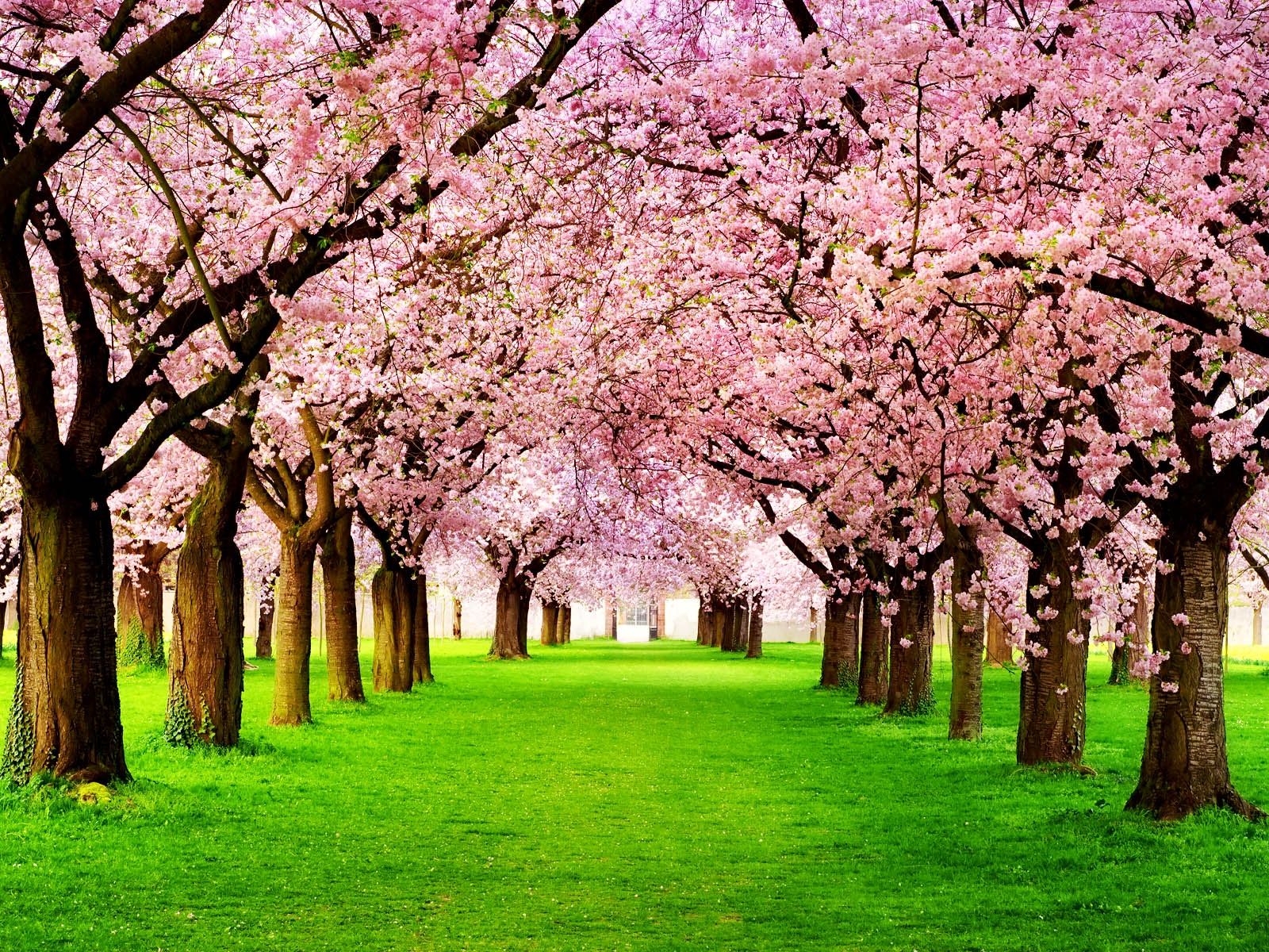 cherry-tree-Tag-Cherry-Tree-Images-Photos-Pictures-and-Backgrounds-wallpaper-wp3604033