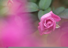close-up-pink-rose-in-spring-with-petals-and-buds-hd-high-resolution-1080p-fr-wallpaper-wp3403949