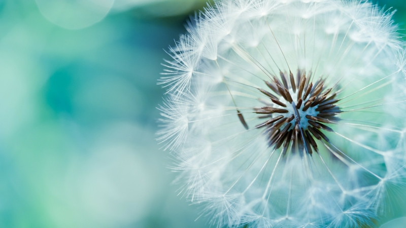 closeup-blue-nature-flowers-macro-dandelions-depth-of-field-samsung-galaxy-siii-1920x1080-wallpa-Wal-wallpaper-wp3604127