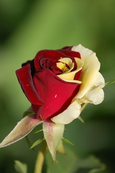 ddfecdeedbd-green-rose-rose-buds-wallpaper-wp5601112