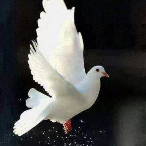 debcbdcfbcbf-white-doves-beautiful-birds-wallpaper-wp5802035