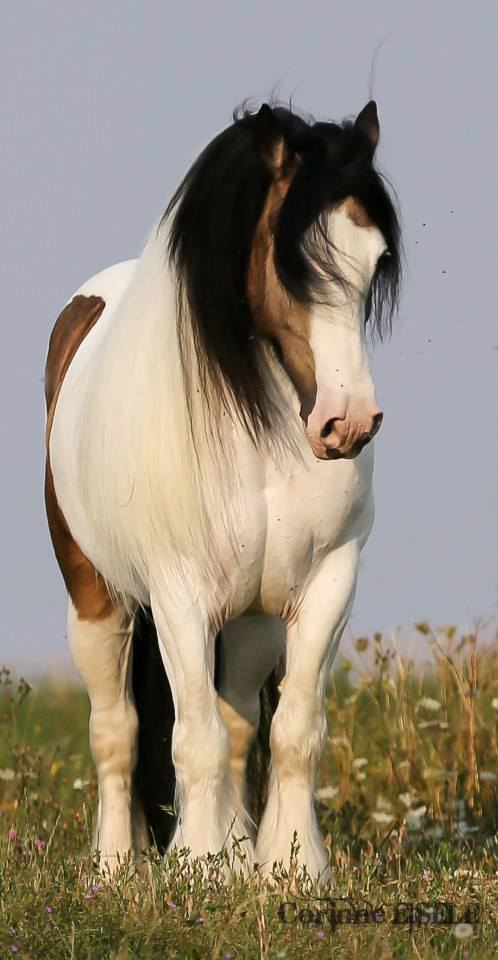 draft-horse-wallpaper-wp5006909