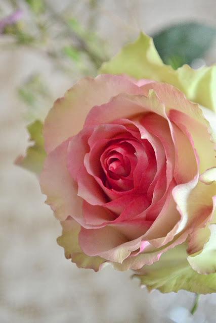 esperance-rose-wallpaper-wp5604634