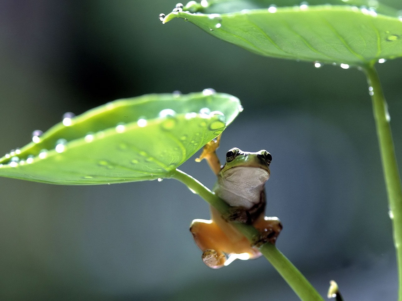 frog-on-a-leaf-wallpaper-wp4407259