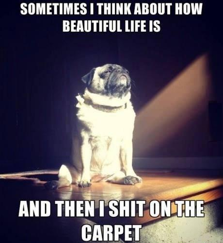 funny-dogs-carpet-life-wallpaper-wp4803360