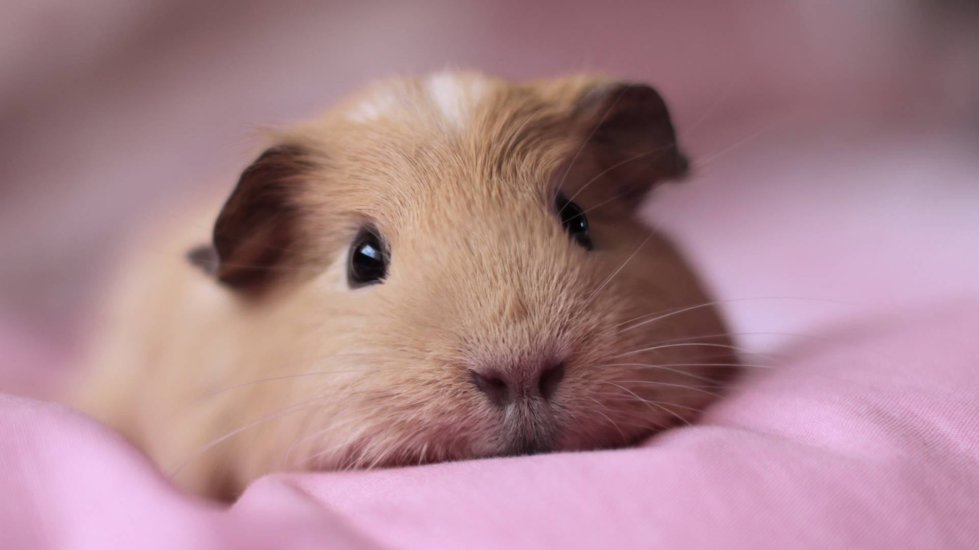 guinea-pigs-pictures-wallpaper-wp3406480