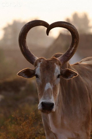 heart-curved-horns-wallpaper-wp5806347