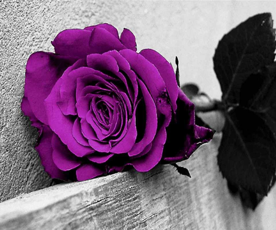 lonely-purple-rose-wallpaper-wp6004670