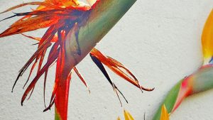 """Bird of Paradise"" Flowers wallpaper"