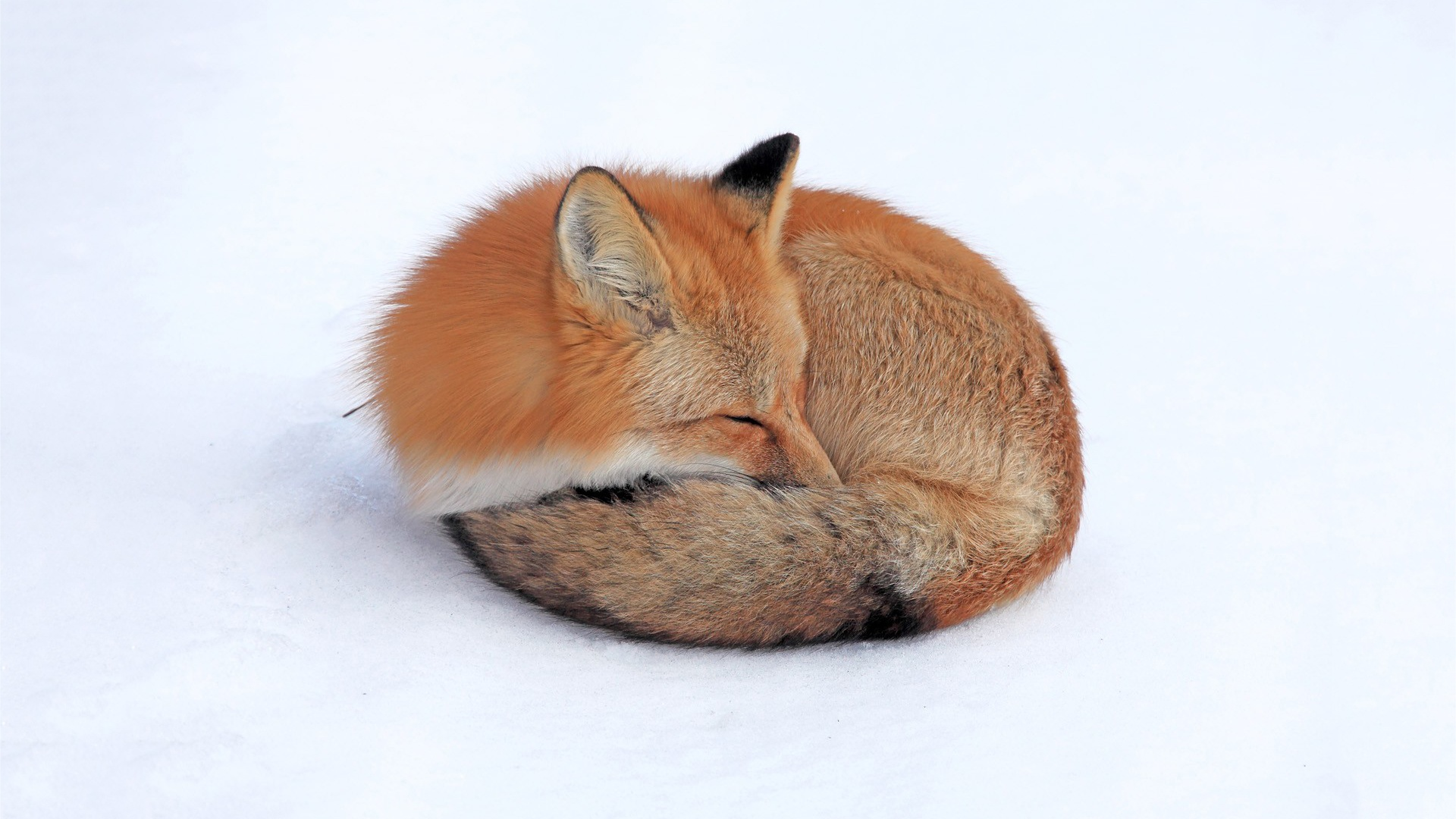red-fox-sleeping-1920x1080-1920%C3%971080-wallpaper-wp36010091
