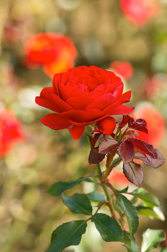 red-rose-by-kodamatic-wallpaper-wp36010063