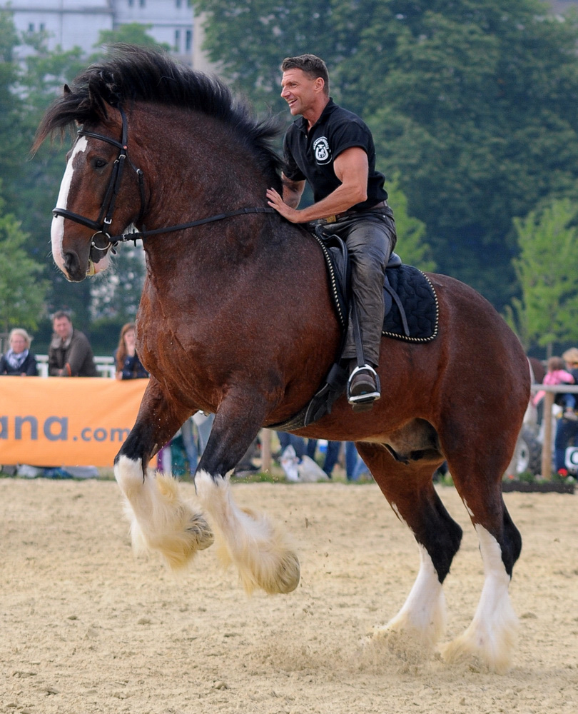 a look at the pure horse breed the shire horse