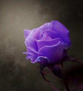 Beautiful Purple Roses wallpaper