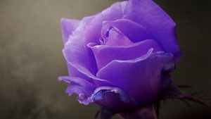 Moaie Purple Roses wallpaper