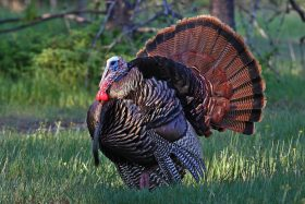 National Wild Turkey Federation wallpaper