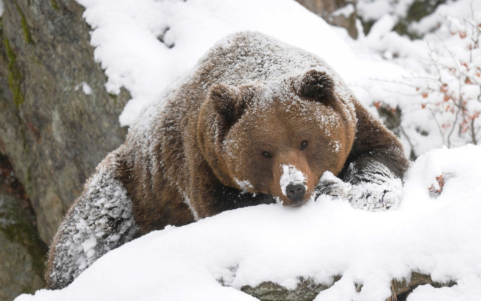 winter-bear-Beautiful-of-a-grizzly-bear-covered-with-some-snow-at-wallpaper-wp4210760