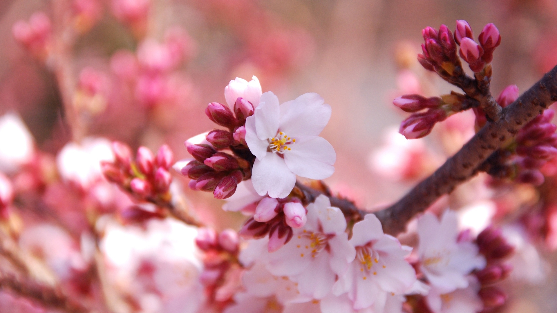 1080P-Beautiful-Nature-With-Pink-Cherry-Blossoms-wallpaper-wp380577
