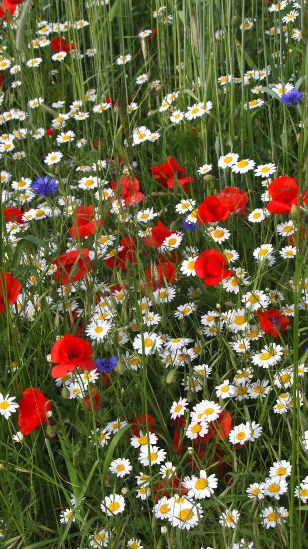 1080x1920-daisies-poppies-cornflowers-grass-meadow-summer-wallpaper-wpc900490