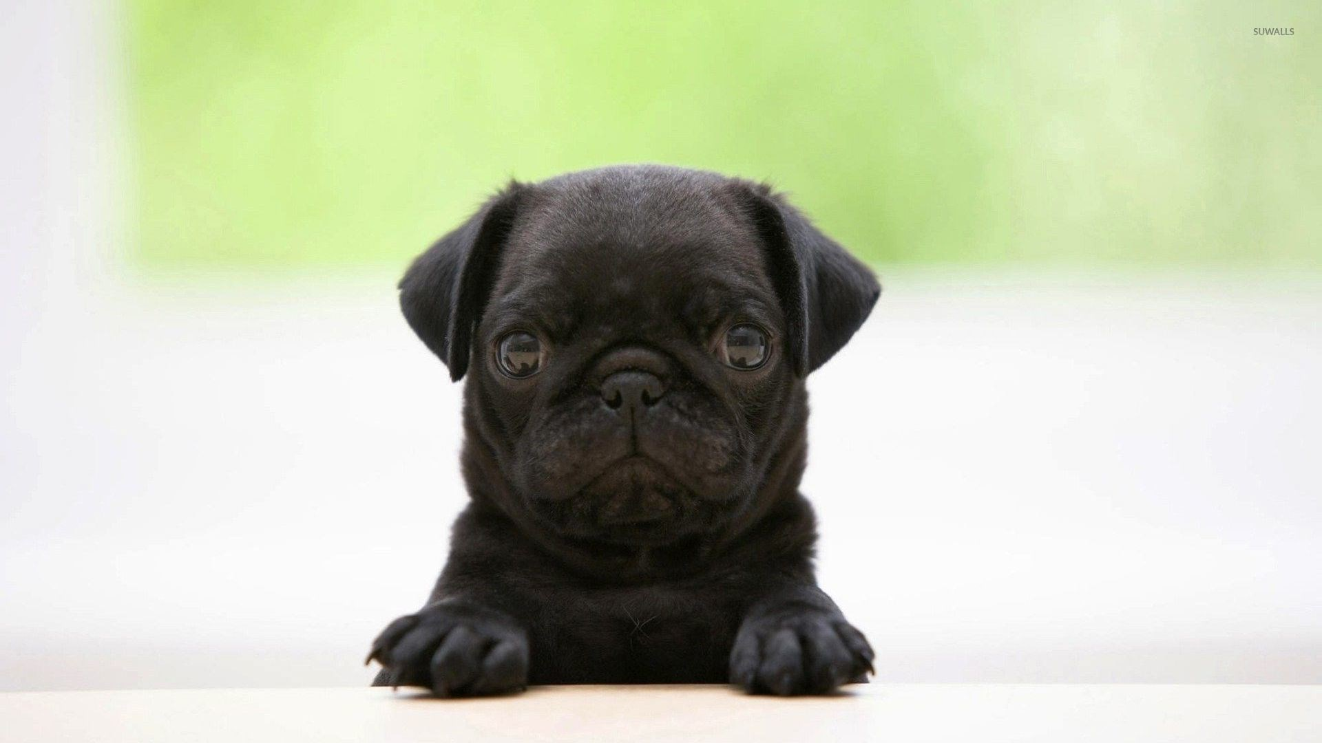 1920-x-1080-px-Free-download-pug-puppy-pic-by-Cydney-Hardman-for-TrunkWeed-com-wallpaper-wpc580587