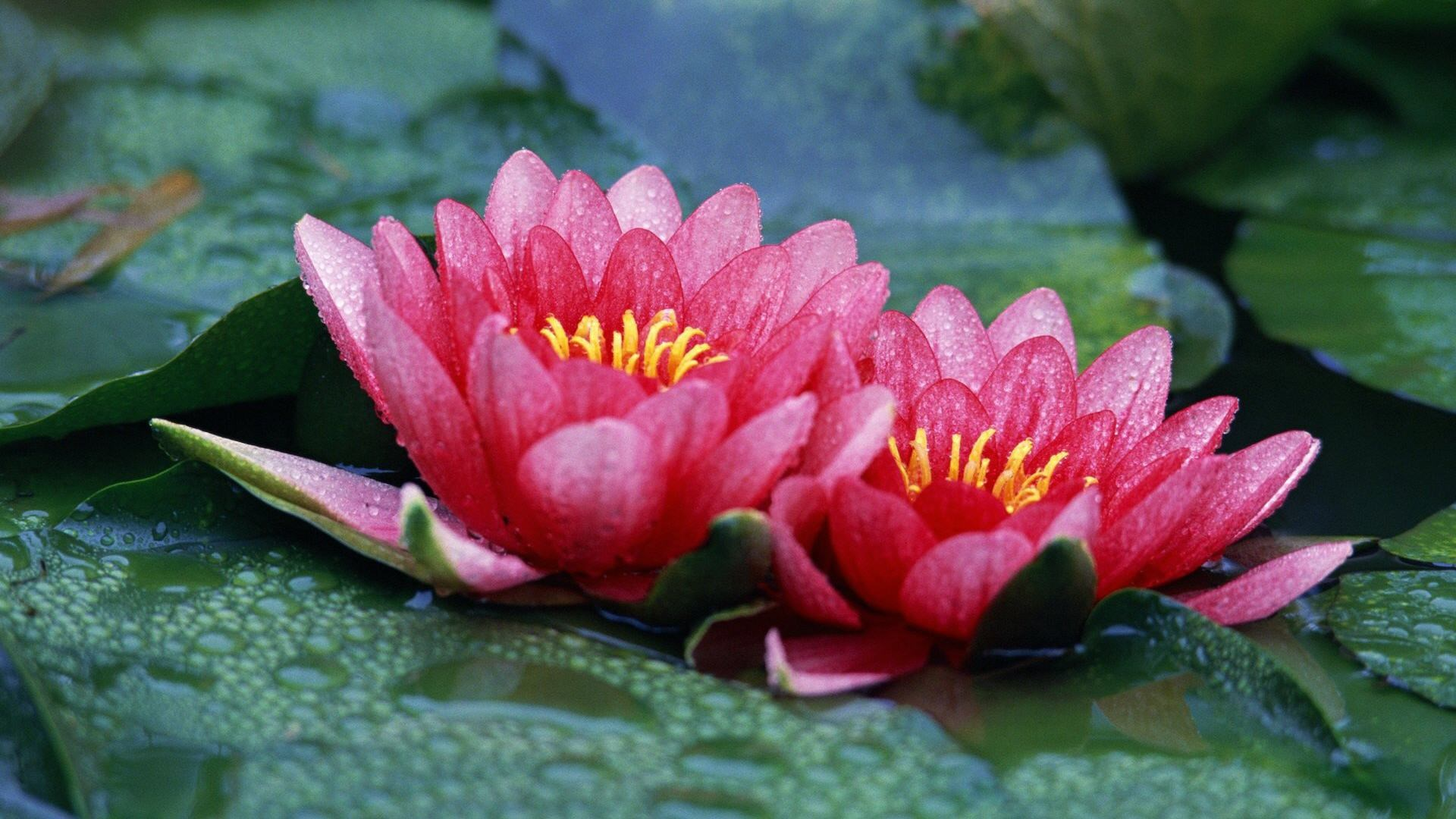 1920x1080-free-screensaver-for-lotus-wallpaper-wp380798