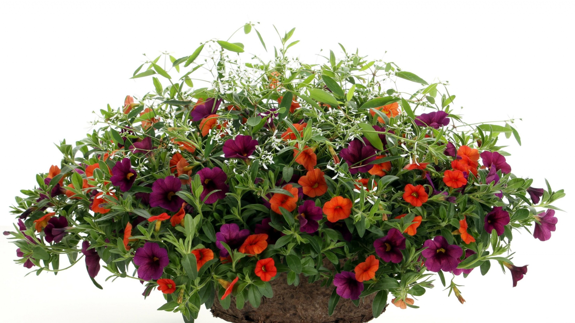 1920x1080-petunia-bright-flowers-pots-white-background-wallpaper-wpc9001050
