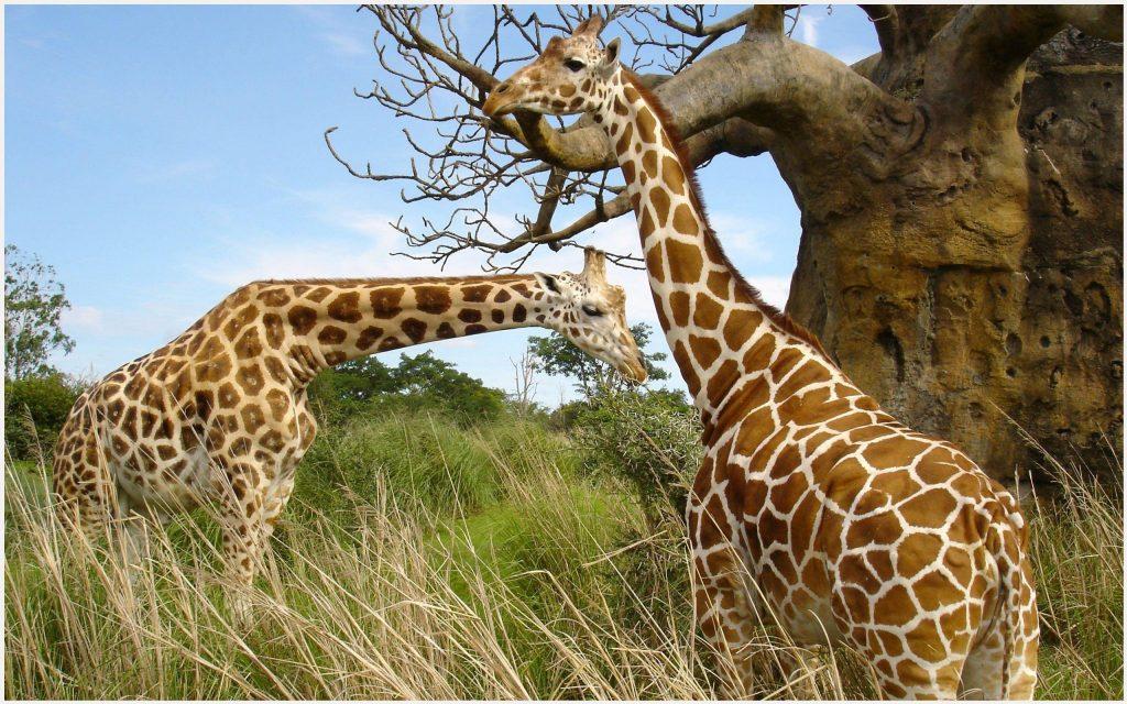 African-Giraffe-HD-african-giraffe-hd-1080p-african-giraffe-hd-desk-wallpaper-wpc5801984
