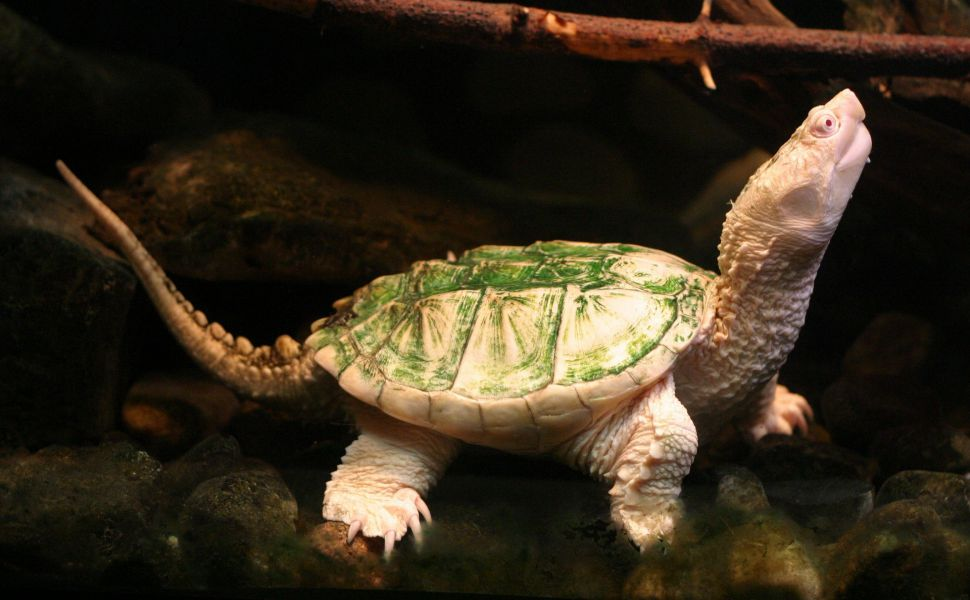 Albino-Turtle-HD-wallpaper-wpc9202259
