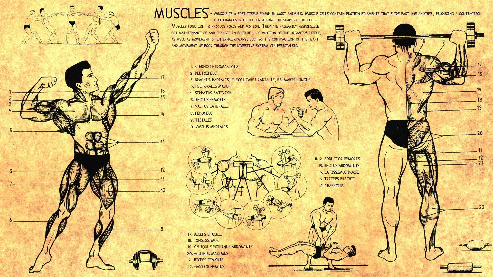 Anatomy-human-muscles-bodybuilding-scheme-training-body-Health-wallpaper-wpc9202386
