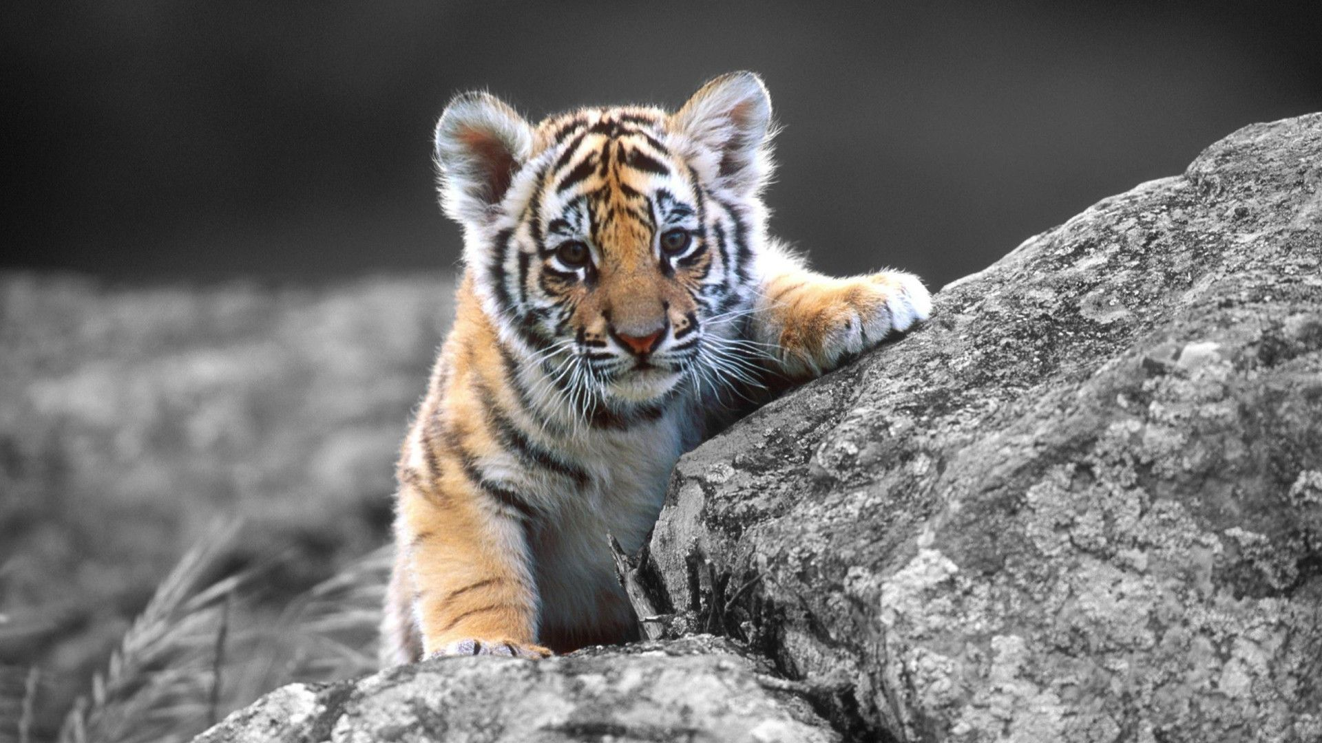 Animal-Cute-White-Tiger-High-Definition-with-wallpaper-wpc9002230