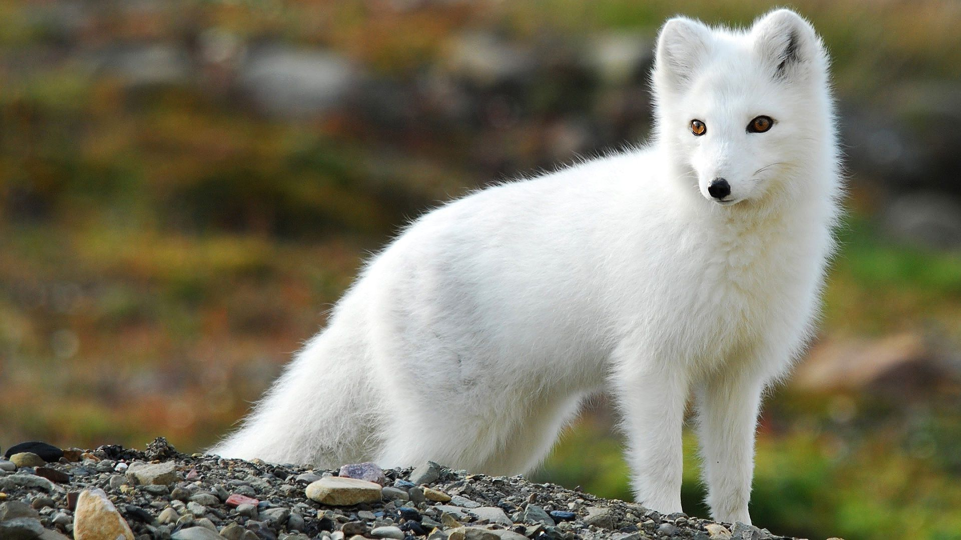 Arctic-Fox-HD-Backgrounds-wallpaper-wpc5802235