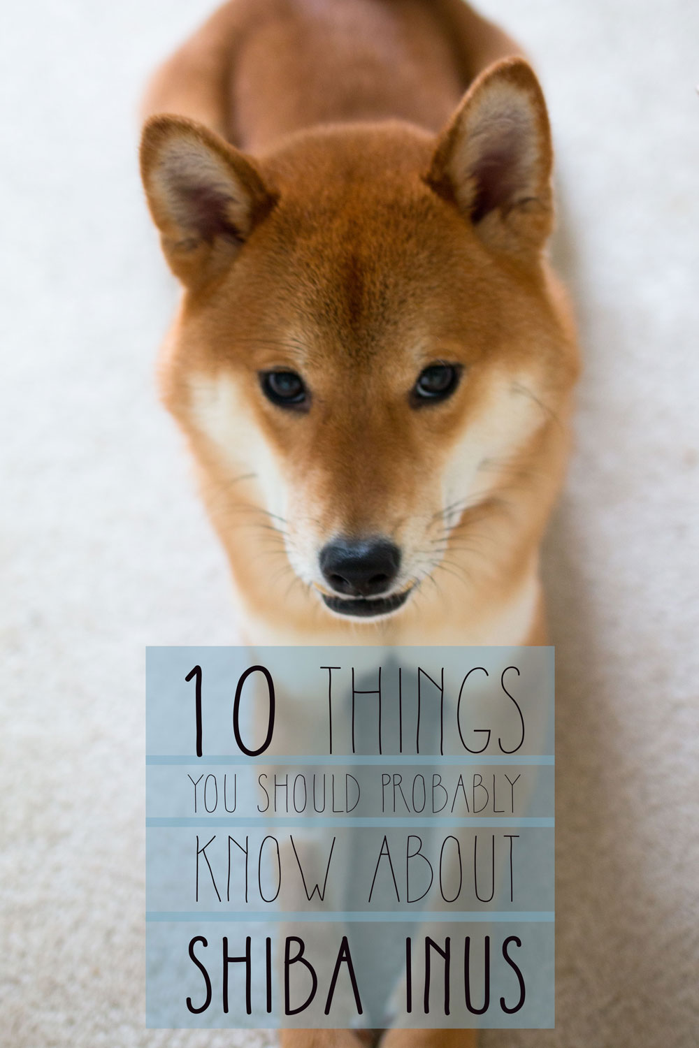 Are-you-considering-a-Shiba-Inu-as-a-pet-Straight-from-an-owner-learn-all-about-the-Shiba-Inu-temp-wallpaper-wpc9002340