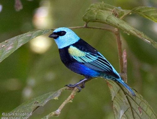BLUE-NECKED-TANAGER-Tangara-cyanicollis-occurs-in-the-Northern-and-Central-Andes-Southern-Ama-wallpaper-wpc9203137