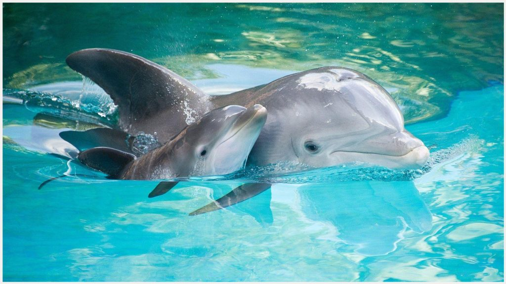 Baby-Dolphin-Swimming-baby-dolphin-swimming-1080p-baby-dolphin-swimming-wallp-wallpaper-wpc9002511