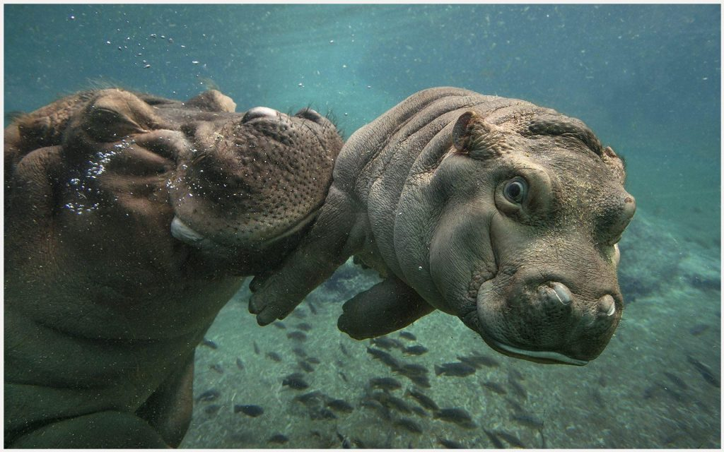 Baby-Hippo-With-Mother-baby-hippo-with-mother-1080p-baby-hippo-with-mother-wa-wallpaper-wpc9002525
