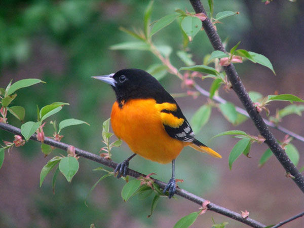 Baltimore-Oriole-https-s-amazonaws-com-tsu-production-app-posts-pictures-original-bea-wallpaper-wpc9202738