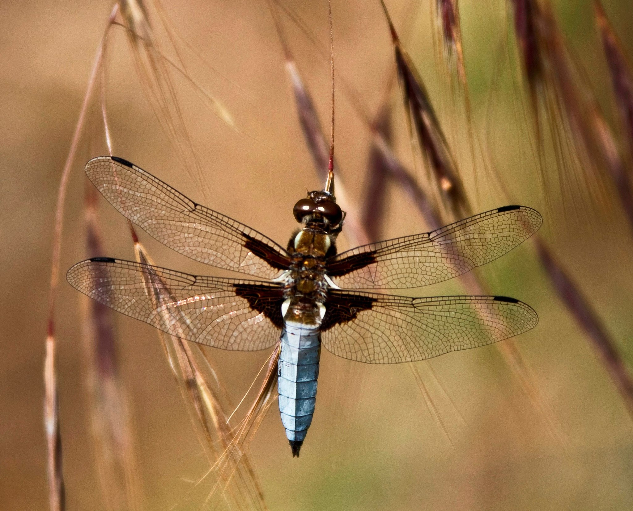 Barrick-Robertson-dragonfly-1080p-high-quality-x-px-wallpaper-wp3802797
