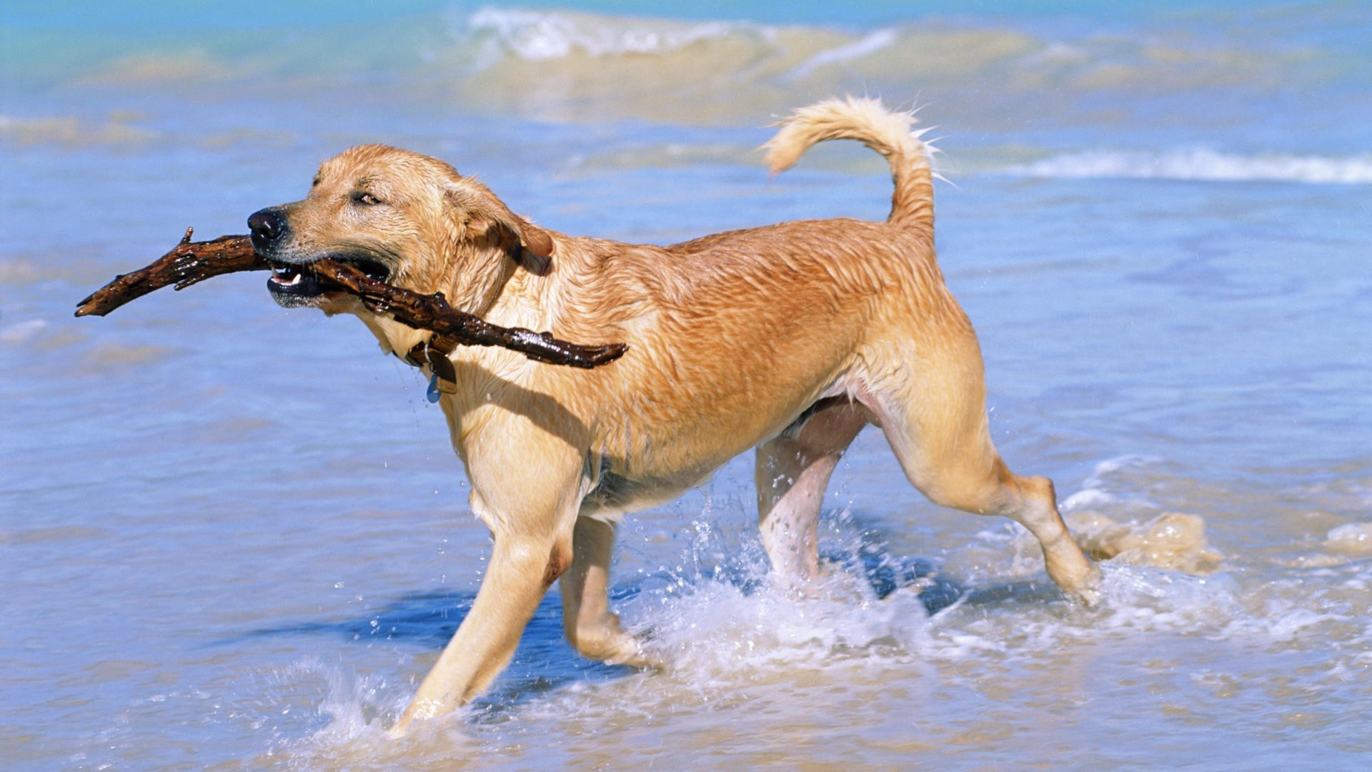 Beaches-golden-retriever-1920x1080-golden-retriever-via-www-all-in-wallpaper-wpc5802603