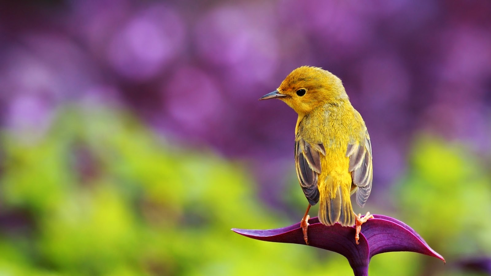 Beautiful-HD-Birds-HD-1080P-wallpaper-wpc9002704