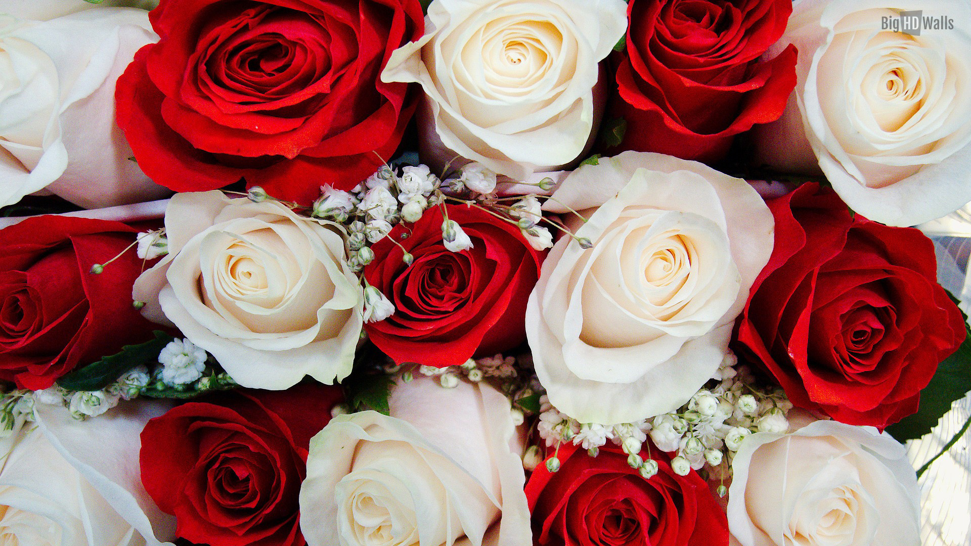 Beautiful-white-and-red-roses-BigHDWalls-wallpaper-wp3803004