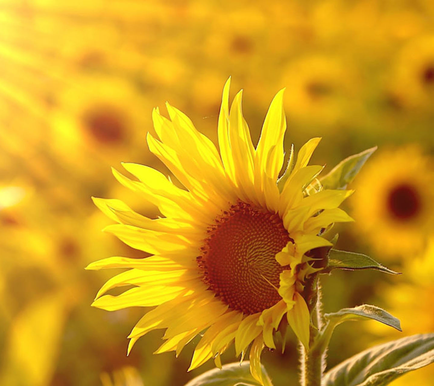 Best-images-about-Sunflowers-on-Pinterest-Sunflower-1920%C3%971080-Yellow-Sunflower-wallpaper-wpc9002830