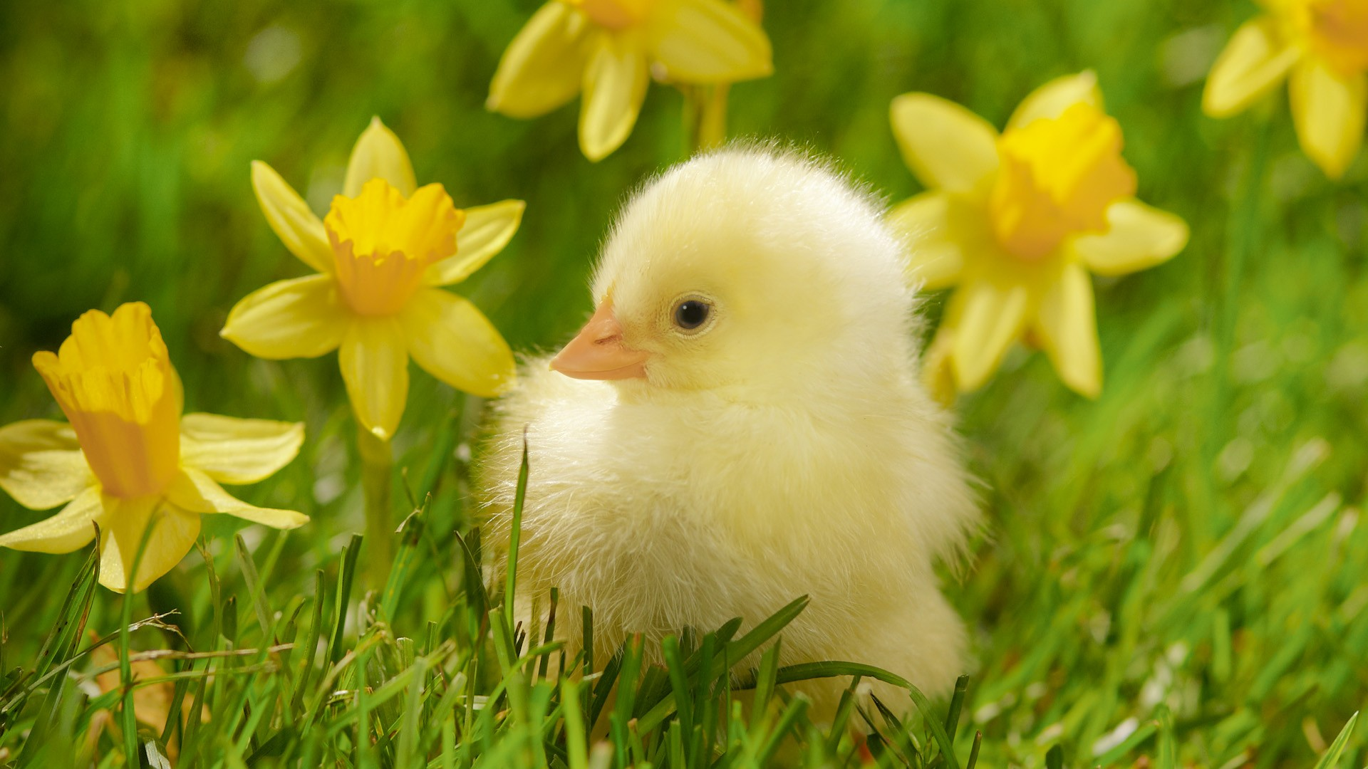 Birds-grass-spring-chickens-daffodils-yellow-flowers-1920x1080-UP-wallpaper-wp3803187