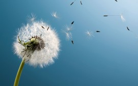 Blown-Dandelion-wallpaper-wp3803276
