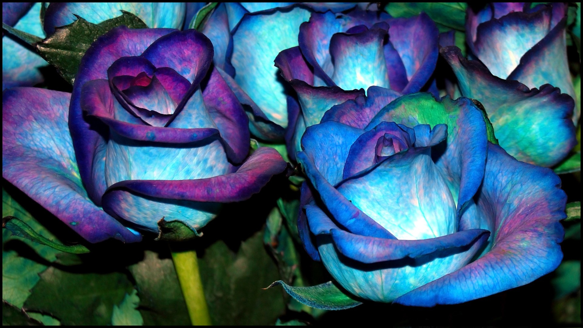 Blue-and-Violet-Roses-wallpaper-wpc9003017
