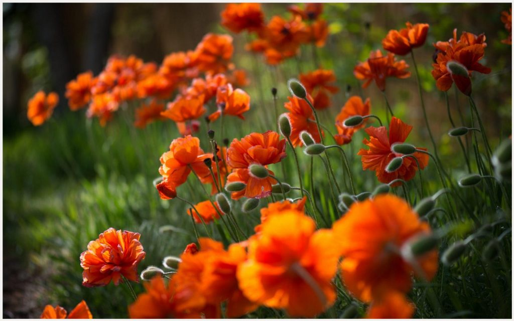 Buds-And-Blossoms-Orange-Flowers-buds-and-blossoms-orange-flowers-1080p-buds-wallpaper-wp380176